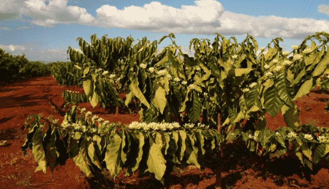 Как растет кофе: от цветка к ароматному зернышку